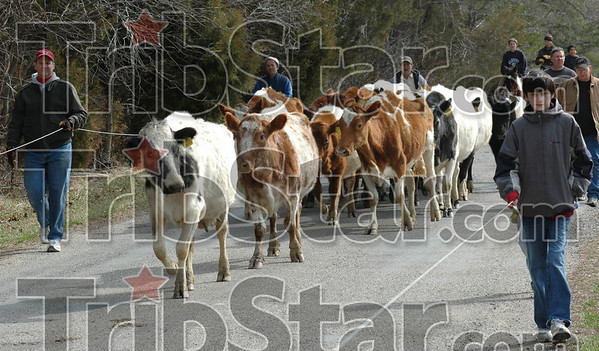 "Cow punchers: Volunteers walk alongside a herd of cows carrying the ""wire"" Saturday morning in rural Clay County."