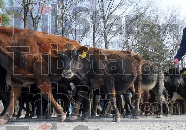 Beware of the wire: A moving convoy of cattle march along a rural Clay County road being aware of the wire being carried by volunteers.