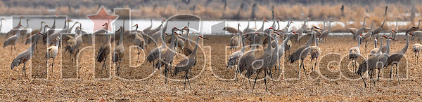 Signs of Spring: Sandhill cranes take a break in a field south of Riley Friday morning. The giant birds stop off in the area each Spring on their migration North.