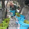 Daffodelivery: Pam Tidrow loads several buckets of Daffodils into her vehicle Monday afternoon for delivery around the area.