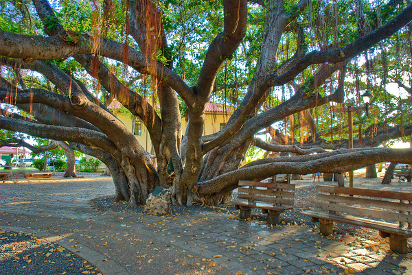 HDR of the Banyan Tree in Lahaina