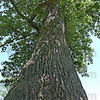 Top of the class: This Tulip Poplar in Deming Park is the biggest in Vigo County. When last measured, it was 150 feet tall and had a diameter of over 4 feet.