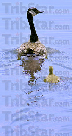 Protective escort: A Canada goose gosling paddles along after a parent at the wetlands just east of West Terre Haute Friday afternoon.