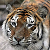 Lunch?: A female tiger watches a group of runners run past her cage at the Exotic Feline Rescue Center in Centerpoint Saturday morning possibly thinking about lunch.