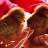 Hand-held Chicks
