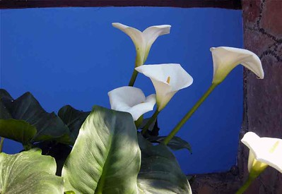 Calla Lilies in Angangueo-Pam Heller