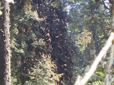 Oyamel Clusters - Imani Joseph