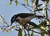Blue Faced Honeyeater, feeding on Ti Tree Blossom