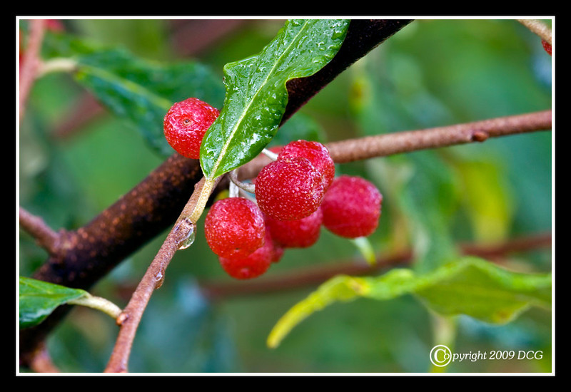 Red Berries at Bellamy River Wildlife Management Area