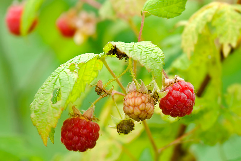 Red Raspberries at Bellamy River Wildlife Management Area
