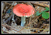 Russula Mushroom at Bellamy River Wildlife Management Area