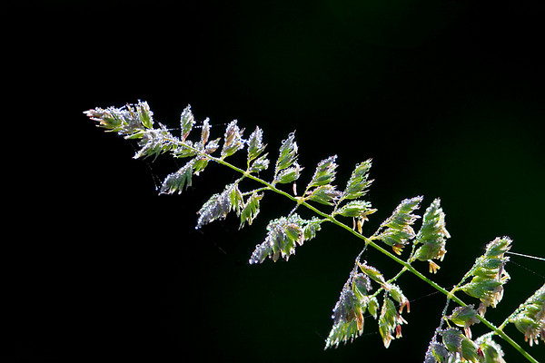 Grass bent over with Morning Dew at Bellamy River Wildlife Management Area