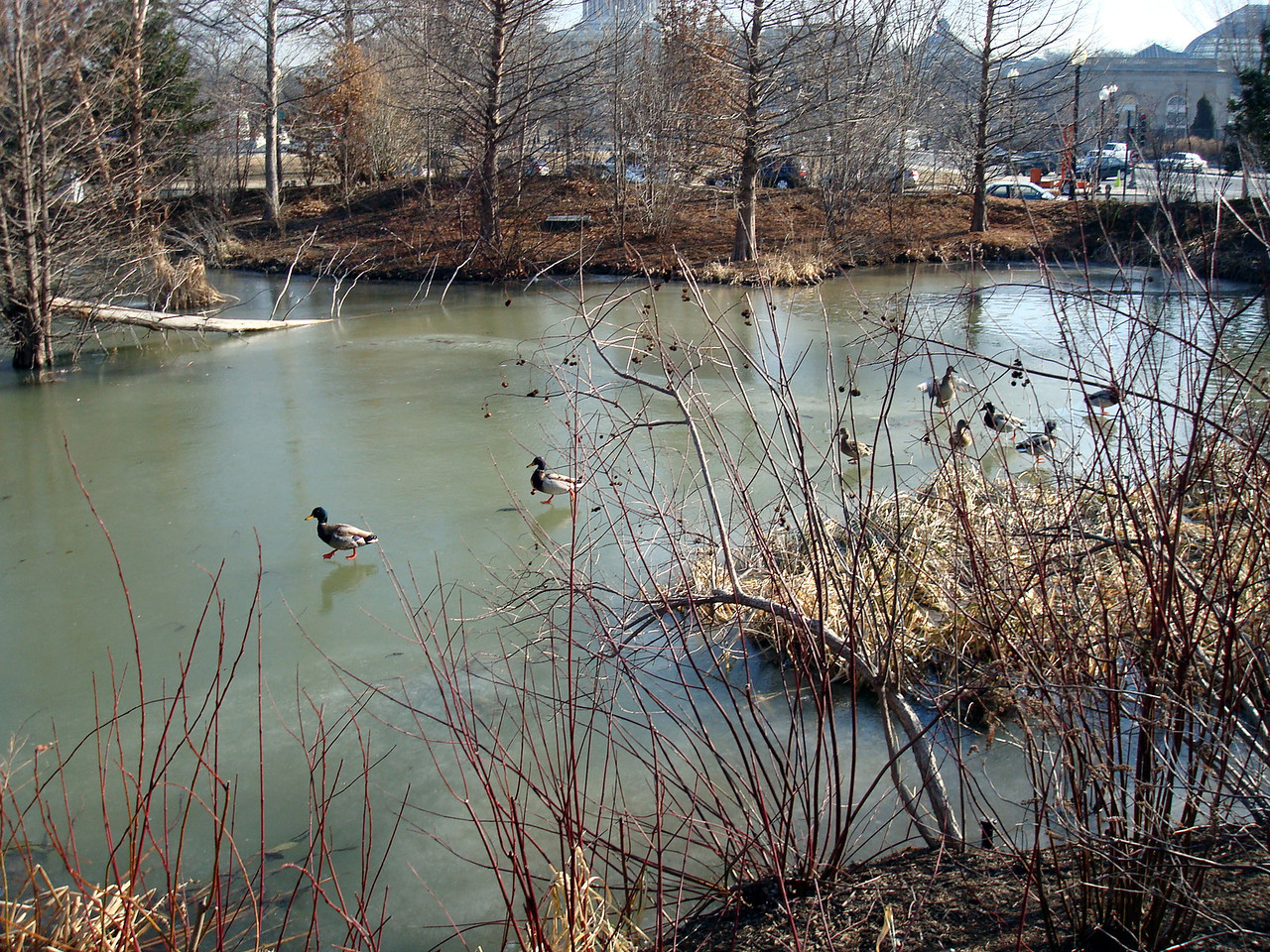 Ducks on ice and some water at National Museum of the American Indian