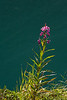 Morning greets us with another bright day, and the fireweed soaks up its few remaining summer rays.