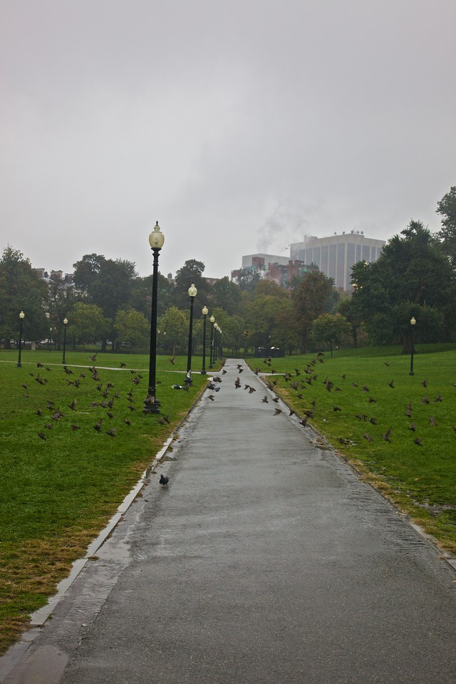 Birds flocking in Boston Common in the rain.
