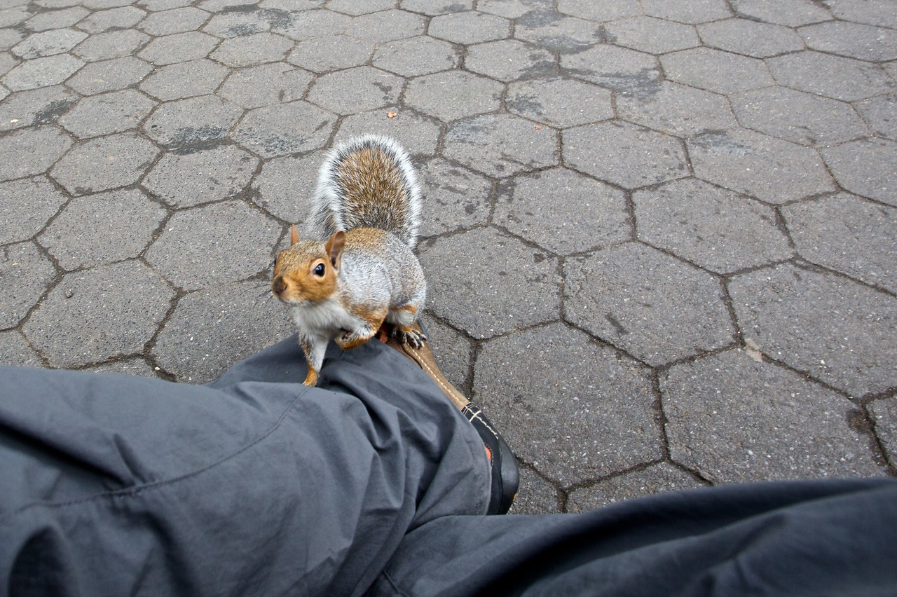 A plucky urban squirrel tries to climb my leg in Madison Square Park.