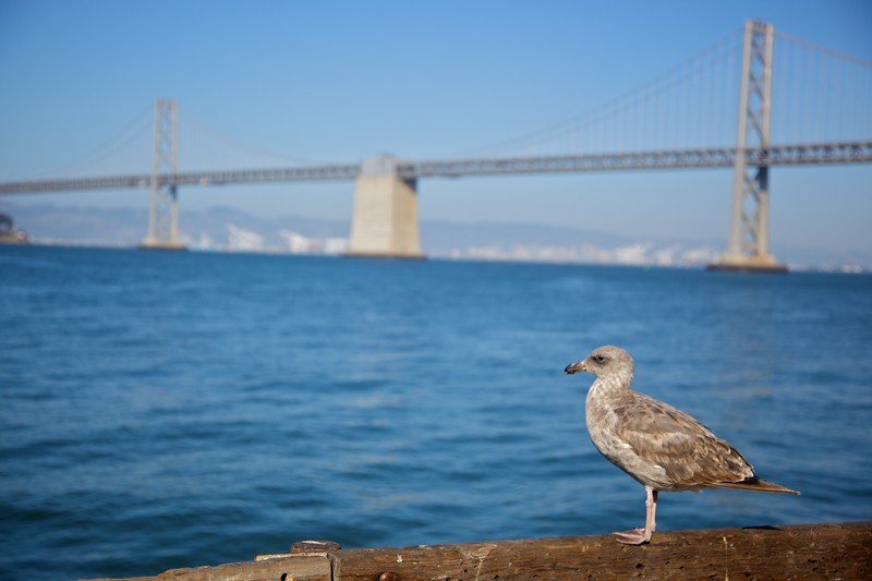 A seagull in front of the Oakland–San Francisco Bay Bridge.
