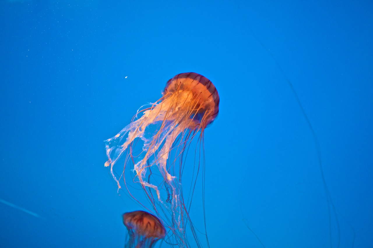 A jellyfish in the National Aquarium in Baltimore.