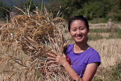 Harvesting Rice!  Actually we are shooting video in a field where locals are harvesting rice...