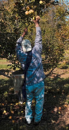 Tribune-Star/Joseph C. Garza<br /> Within reach: Ditzler Orchard employee Isaac Vasquez grabs an apple above his head Monday at the orchard.