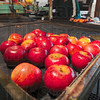 Tribune-Star/Joseph C. Garza<br /> Grader: Sandy Ditzler operates the grading table Monday that separates the apples into three sizes: medium, large and select.