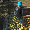 Tribune-Star/Joseph C. Garza<br /> Handfuls of harvest: Ditzler Orchard employee Karla Noorlag evens out a load of apples she just picked Monday at the orchard.