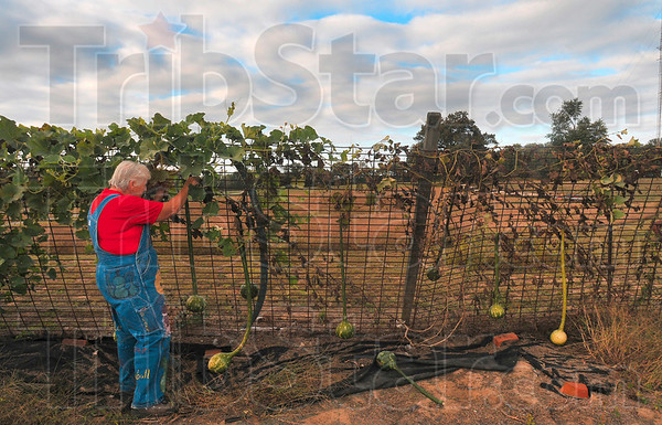 Tribune-Star/Joseph C. Garza<br /> Almost enough time on the vine: Helen Thomas looks over her long-handled dipper gourds at her farm Tuesday in Howard in Parke County.