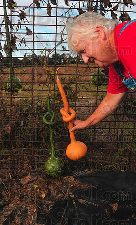 Tribune-Star/Joseph C. Garza<br /> Knot natural: Helen Thomas has learned how to design some of her gourds even before they have been pulled off the vine like her long-handled dipper gourds that she grows on a trellis.