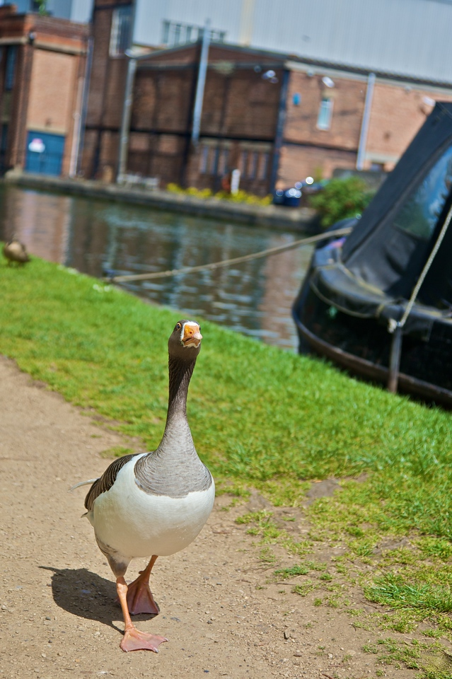 A goose strutting along the path by the river on Osney Island.