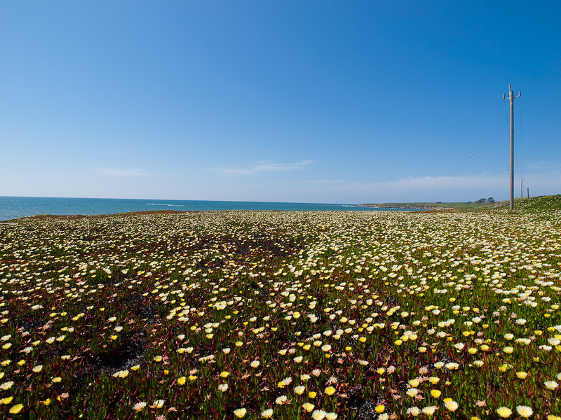 Iceplant field