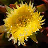 Yellow iceplant