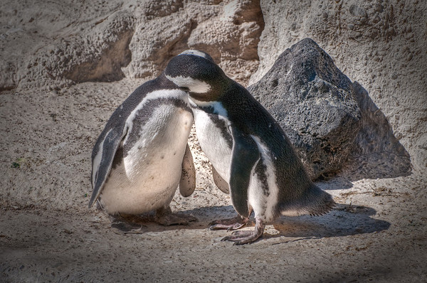 These penguins had fallen in love and were making out. Ironically, there was a story of 2 male penguins falling in love and mating for 6 years (they even had a son) and then one day one of the male penguins deides he wants a female penguin and gives up his long time parner. How sad!
