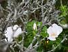 White ragusa rose