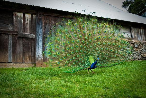 Peacock outside of Pichetti Winery