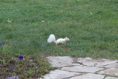 no, it's not a rat...A WHITE SQUIRREL!