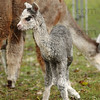 It's a boy: A newborn silver grey cria wobbles near its mother Thursday afternoon at St. Mary-of-the-Woods. He has not yet been named.