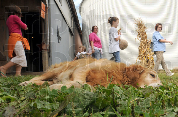 """Pumpkin patch pooch: """"Sonny"""" the Pumpkin Works dog relaxes outside the entrance to the farm Saturday morning oblivious of the foot traffic arround him."""