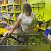 High tech flowers: Debbie Myers, floral designer at Jack and June's Poplar Flower Shop, cuts the stems of flowers underwater, helping extend the life of the blooms.