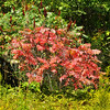 Early indiator: Staghorn sumac is one of the earliest plants to turn color each Autumn, along with Virginia Creeper and Poison Ivy.
