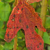 Sassy: A sassafras leaf shows signs of wear and tear as well as indicating an impending Autumn.