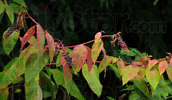 Changing times: A pokeberry bush hints at teh colors to come this Autumn.