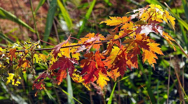 Eye catcher: A branch of maple leaves glows in afternoon sunlight.