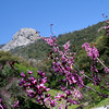 Redbuds and Morro Rock