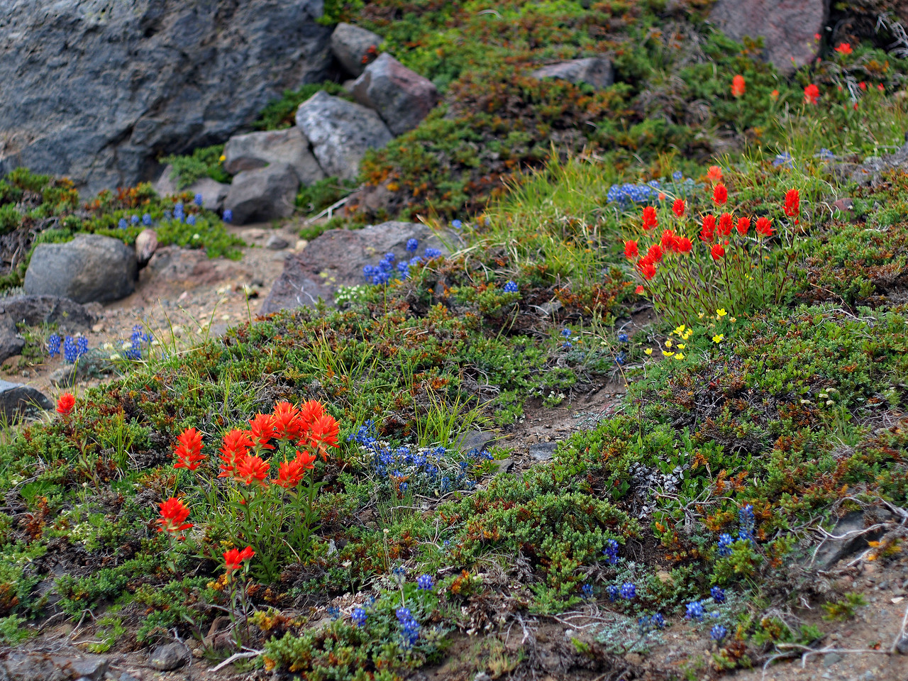Paintbrush and alpine lupin scattered among the rocks near the summit of Goat Island Mountain.