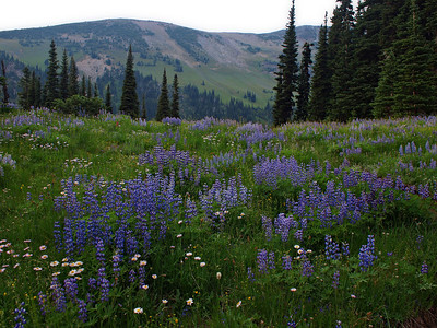 Lupin in Summerland, Goat Island Mountain in the background.