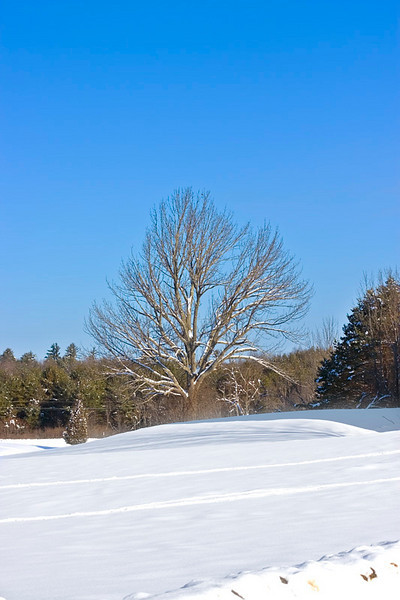 Snow Capped Tree from Wagon Hill Farm