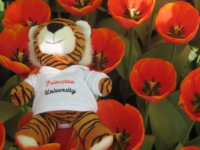 Princeton Tiger at Keukenhof - Kaitlin Lutz