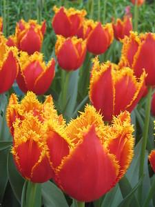 Tulips - Kaitlin Lutz