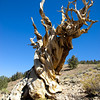 Remnants of an ancient bristlecone