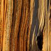 Grain of a bristlecone treee